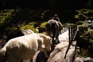 Muletier, Himachal Pradesh - Photo de Raphaël Mezzapesa