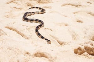 Serpent, tricot rayé, Nouvelle-Calédonie